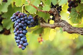 Грузины планируют выращивать виноград на Марсе