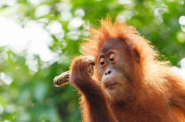 Ученые обнаружили у орангутангов способности к бизнесу