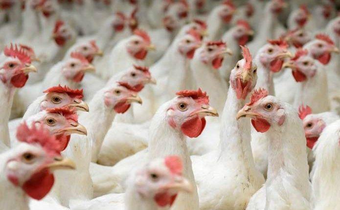 Еврокомиссия отказалась пересматривать эмбарго на экспорт украинской курятины